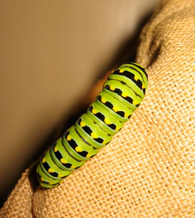 This is the original caterpillar---hard to believe!