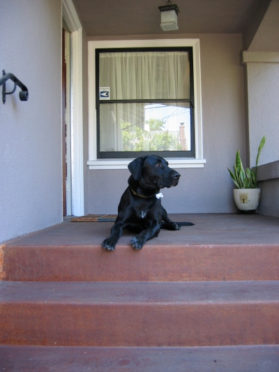The Labradane, lounging on the porch