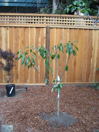 Multi-grafted cherry